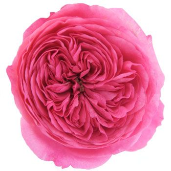 Suprise, surprise ... this is actually a rose. A garden rose princess pink baroness to be exact.