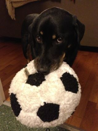 Rottweiler Lab Mix Dog For Adoption in Seattle Wa – Adopt Barkley Today
