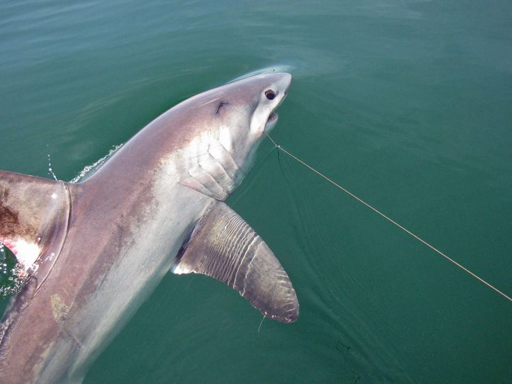 Porbeagle shark - Caught, tagged and released with St. Andrews Sport Fishing Co.! Contact us now for more information on how to book your thrill of a lifetime!