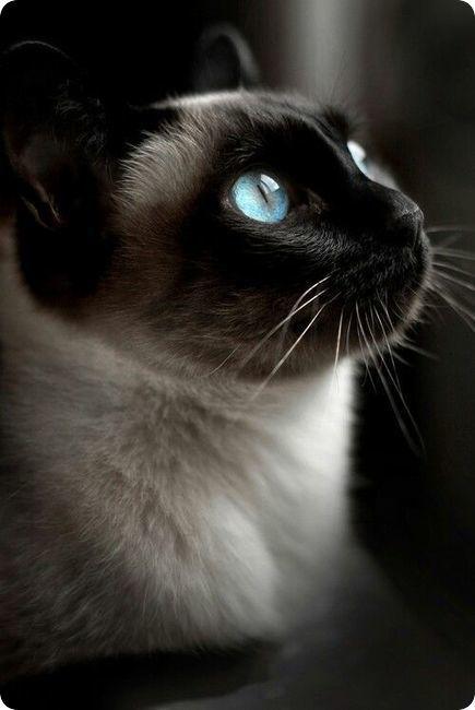 chat siamois profil yeux bleus