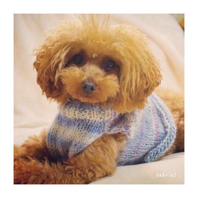 ♥ ・ ・ なんのルールも守らない めちゃくちゃ適当な セーターが完成しました ・・・ꉂꉂ(ˊᗜˋ*) ・ 着てみたら 胸の所が寸足らずで あとから付け足しちゃいました ・ ・ #犬服#手作りセーター#編み物 #トイプードル#トイプー#トイプードル部 #タイニープードル#トイプードルレッド #といぷー#愛犬#私の癒し#わんこ#わんこなしでは生きていけません #ふわもこ部#もふもふ#モフモフ#ふわふわ#可愛い#かわいい#笑顔になる #poodle#toypoodle#toypoodles#toypoodlestagram#todayswanko#pawsomepoodles#GabrielPom#east_dog_japan#all_dog_japan