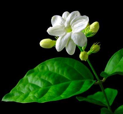 Arab jázmin - (Jasminum sambac): Trópusi növények | Ár: 2000.00 Ft