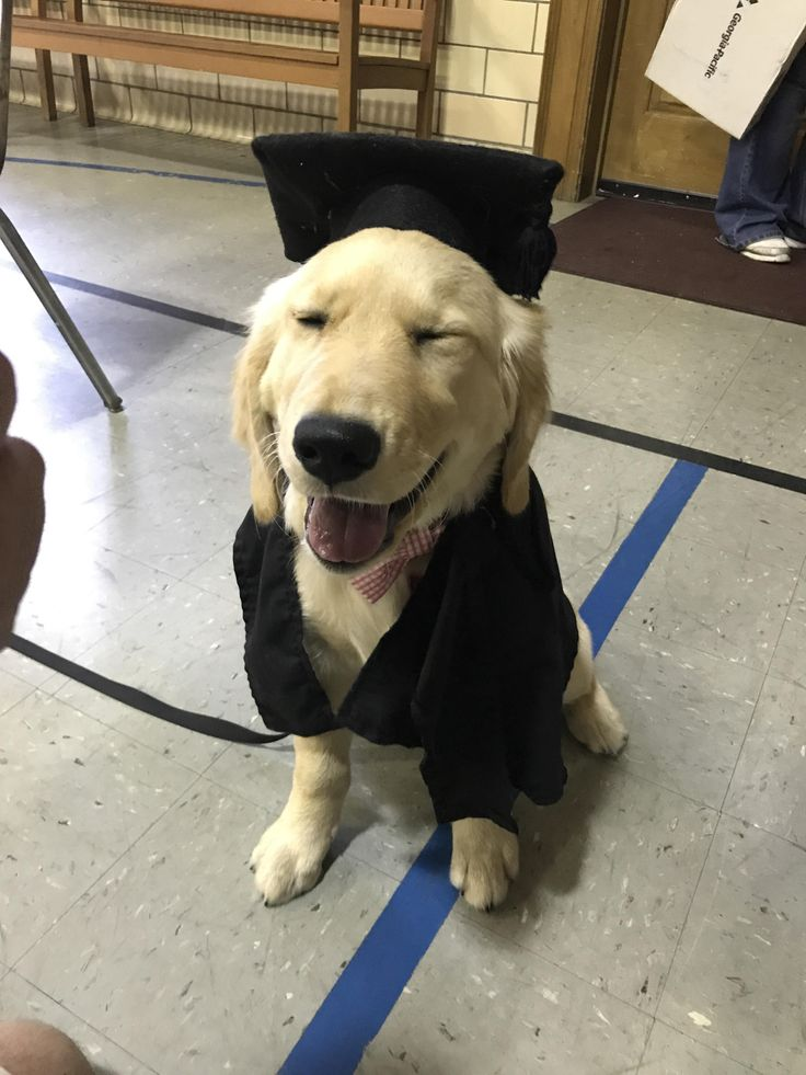 She was voted class clown but she still graduated puppy school! (Xpost r/goldenretrievers)