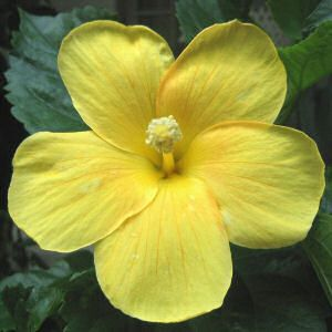 HAWAIʻI STATE FLOWER — Native Yellow Hibiscus (Hibiscus brackenridgei A. Gray), also known as Pua Aloalo or Maʻo-hau-hele. The Pua Aloalo is a beautiful, indigenous blossom which grows luxuriantly on all the islands and appears to be most generally representative of the Islands, no other flower having so great a variety in color and form, or such continuous blooming. Adopted 1923, 1988.