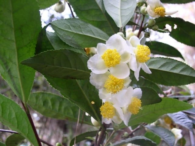 Tea Plants For Sale Grow Camellia Plants And Enjoy Homegrown Tea In 2020 Camellia Plant Tea Plant Plants