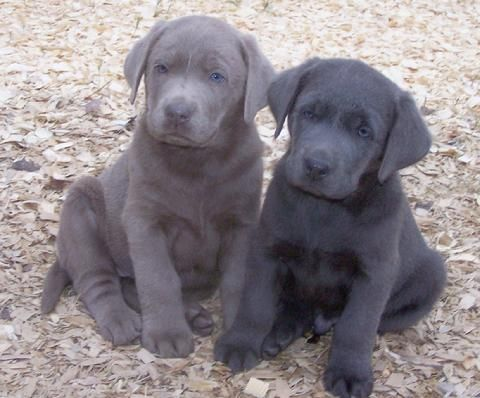 Puppies! Silver and Charcoal labs