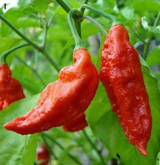 100-120 days from transplant—Also known as Ghost Pepper, Naga Morich. Legendary variety, one of the world's hottest peppers, if not the hottest, with readings in excess of 1,000,000 Scoville units! Bh