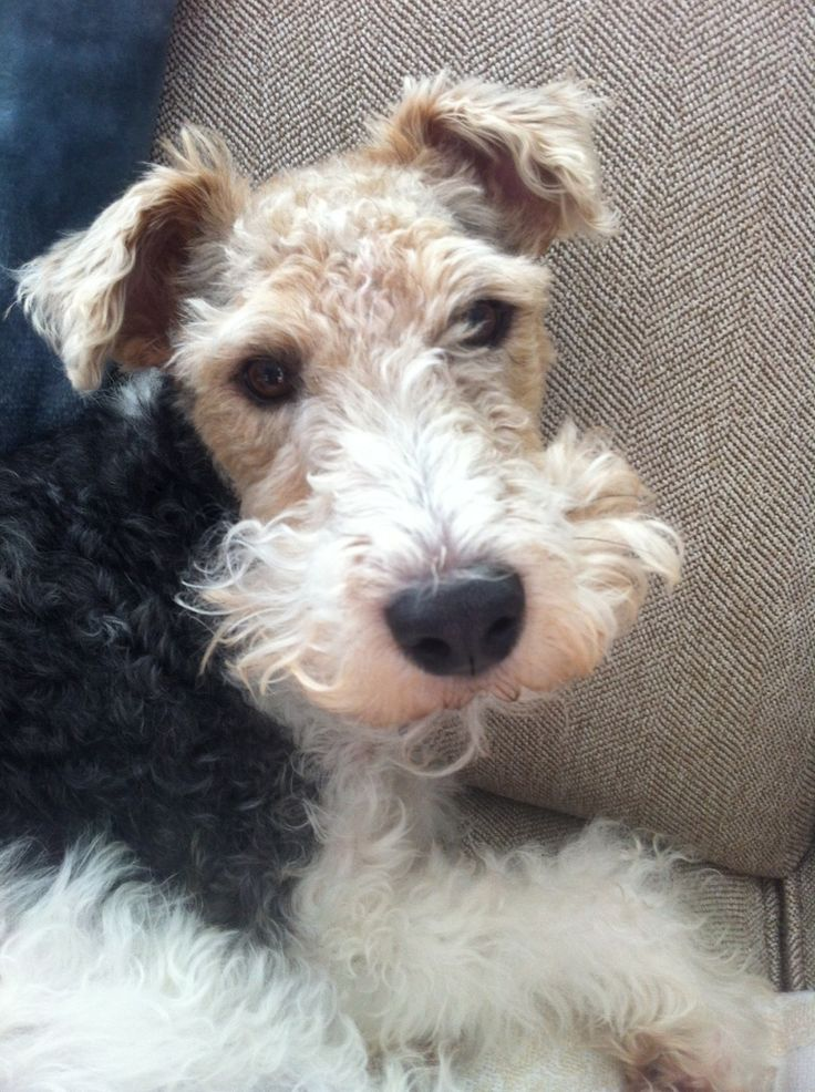 17 best images about fox terriers on pinterest pets