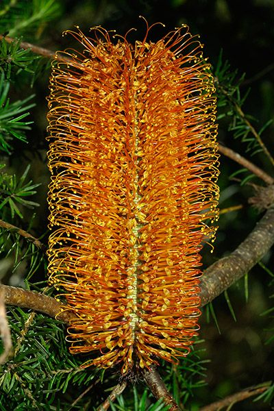Banksia ericifolia- next to hedges, front yard, full sun to partial shade