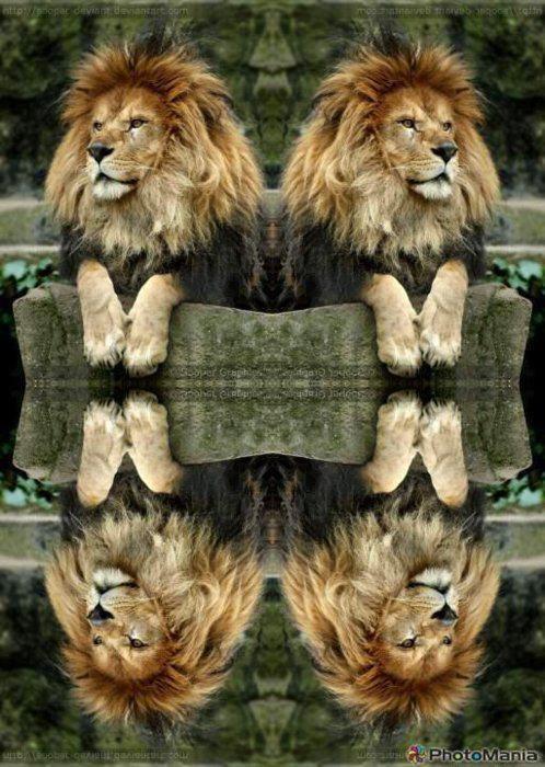 Lion Grand Reflection #photos, #bestofpinterest, #greatshots, https://facebook.com/apps/application.php?id=106186096099420