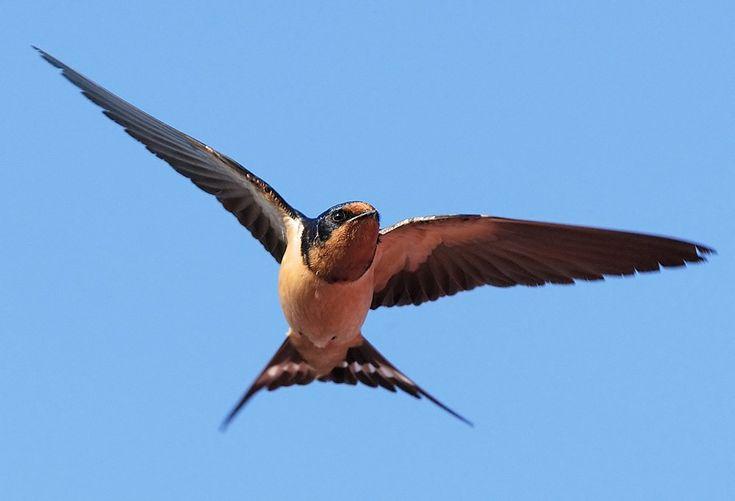 Haggard Hawks 📚🦅 on | Barn swallow, Birds, Fun facts about ...