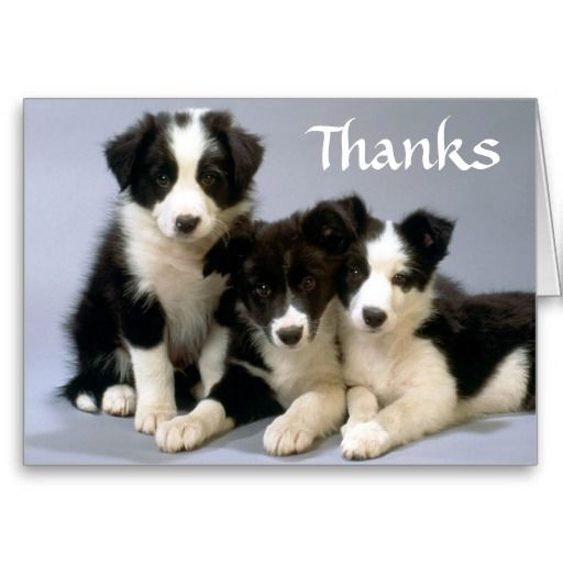 Thanks  Border Collie Puppy Dogs  Greeting Card