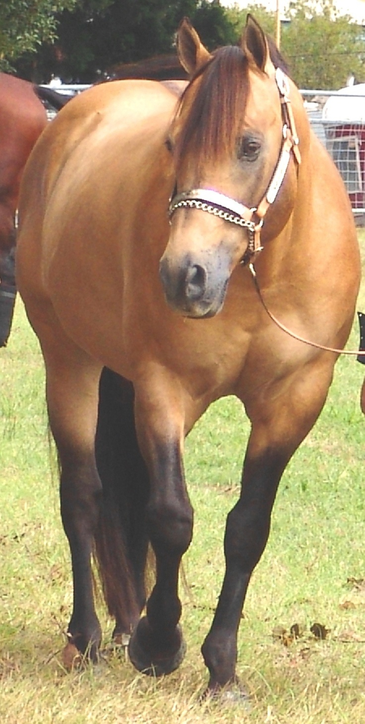 .Azteca horse Pura Raza Espanola