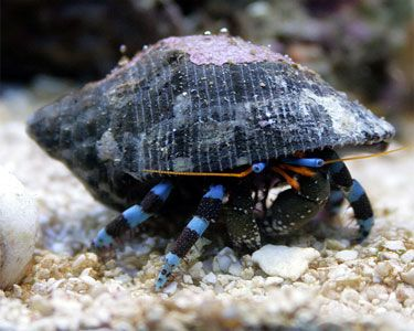 Electric Blue Hermit Crab, Calcinus elegans Species Profile, Care ...