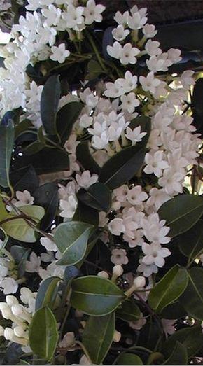 Jasmine: Long Flowering  Fragrant - How to Grow