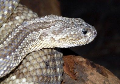 Crotoxin is a substance found in the venom of the South American rattlesnake (Crotalus durissus) and is a more potent muscle relaxant than botulinum toxin. In addition, laboratory experiments have shown that crotoxin has anti-inflammatory, analgesic, anti-tumoral and immunomodulatory...