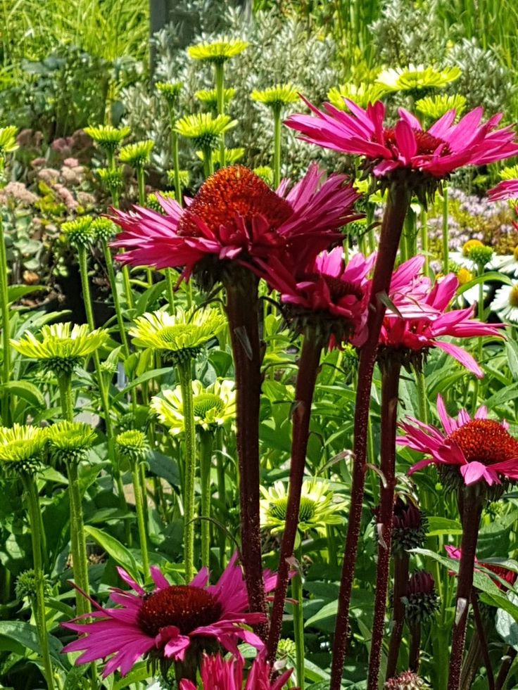 Echinacea fatal attreaction. I think one of the most amazing echnacea.s ever