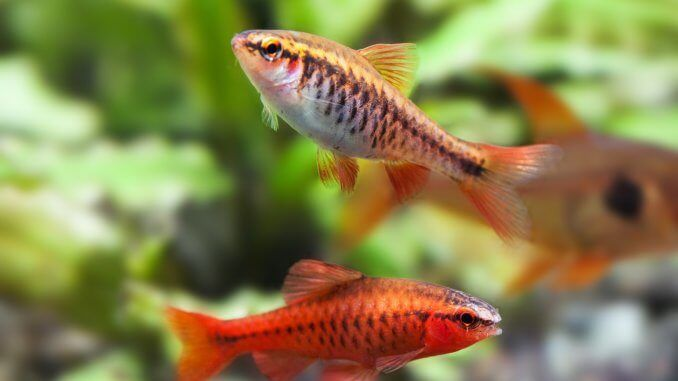 Cherry Barb Fish Complete Guide Care Tank Mates Breeding And More Banner Freshwater Fish Fish Freshwater Aquarium Fish
