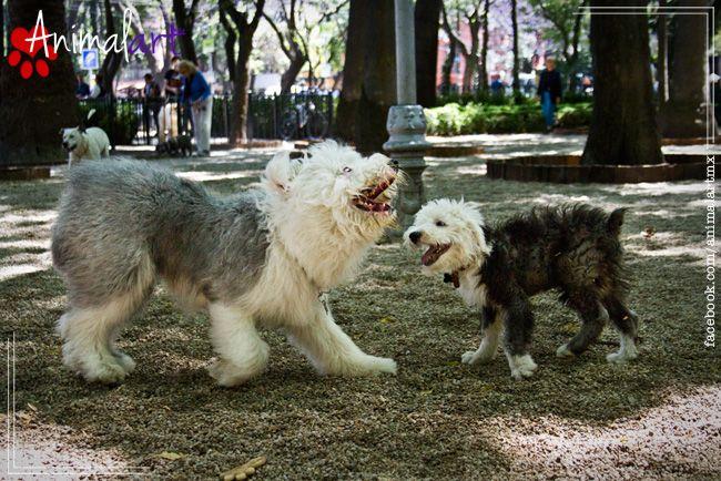Embarazo psicológico canino | Animalart Magazine #animales #perros #mascotas #magazine #pet #dog #torsiongastrica #enfermedades