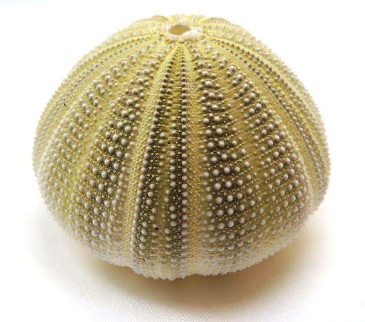les 25 meilleures id 233 es de la cat 233 gorie oursins de mer sur coquillages coquille et