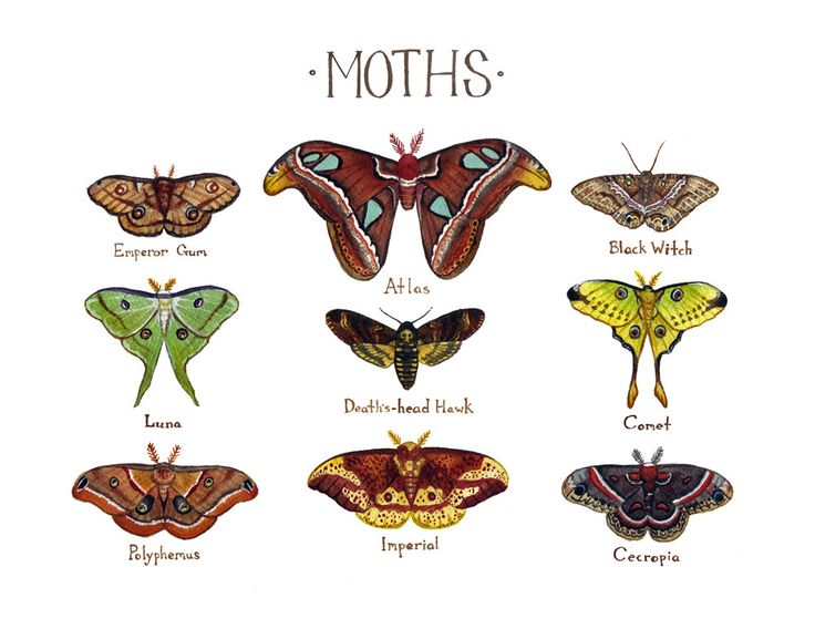 This piece is done in watercolor, and features some of the worlds most stunning giant moths: Atlas Black Witch Cecropia Comet Death's-head Hawk Emperor Gum Imperial Luna Polyphemus It is printed on 8.