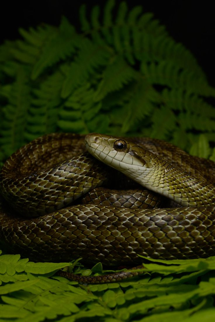 775 best s n a k e s images on pinterest beautiful snakes