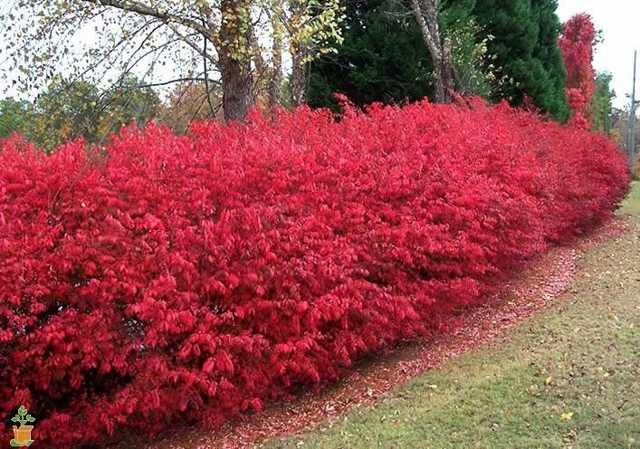1000 ideas about burning bush on pinterest dwarf for No maintenance garden plants