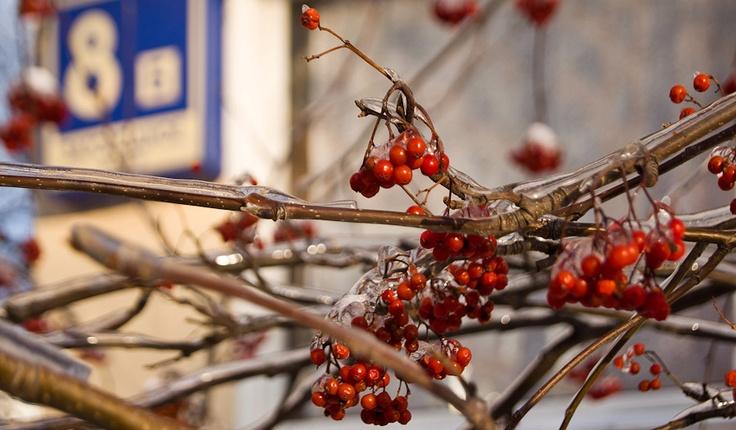 iced rowan berries