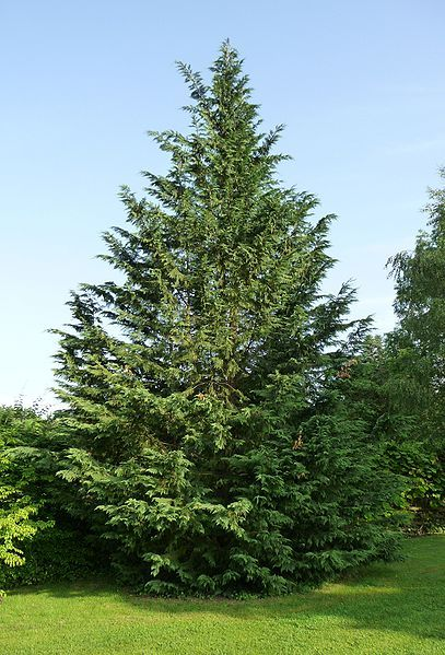 A Fast Growing Landscaping Tree: The Leyland Cypress Tree  I'd like to plant trees in our front yard.  #ClaytonPintoWin