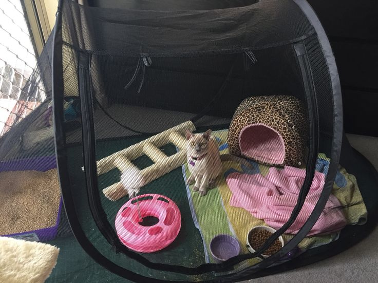 Lucinda having time out after desexing. Cat tent time out.