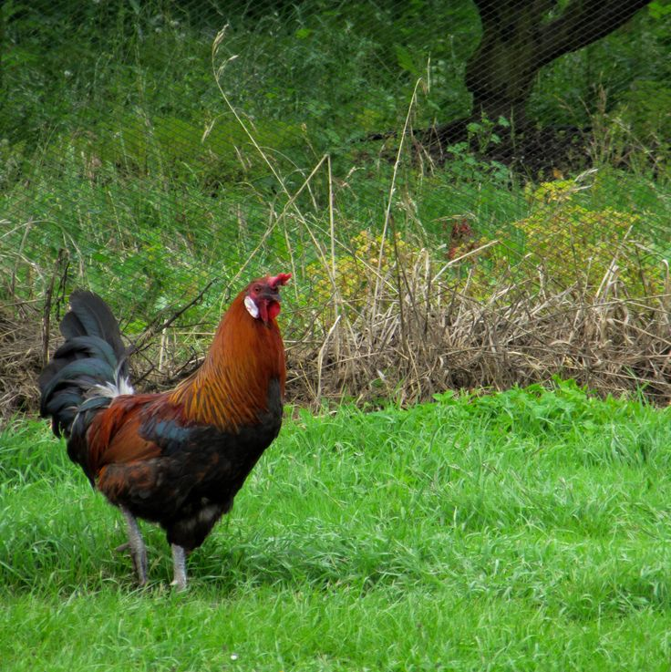 Roaming chicken in the Houn Valley