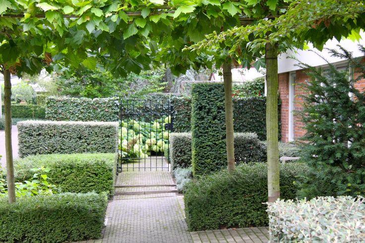 Dakplatanen in combinatie met blokken en hagen.  In deze moderne tuin zijn hagen en blokken geknipt  van Taxus, Lonicera en Cotoneaster.  Op de achtergrond gaaswerk met klimop.