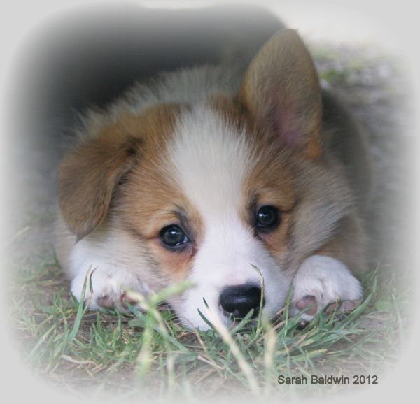 Best 25+ Cute puppies for sale ideas on Pinterest | Tiny ...