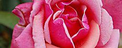 Todo sobre el nombre de la Rosa, ¡qué curioso!