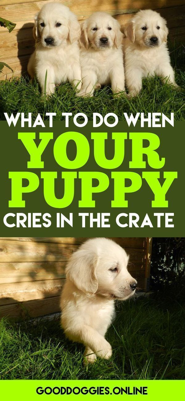 If your crate training your puppy, you've probably heard the crying. Learn what to do with these puppy training tips. #puppytrainingdiy