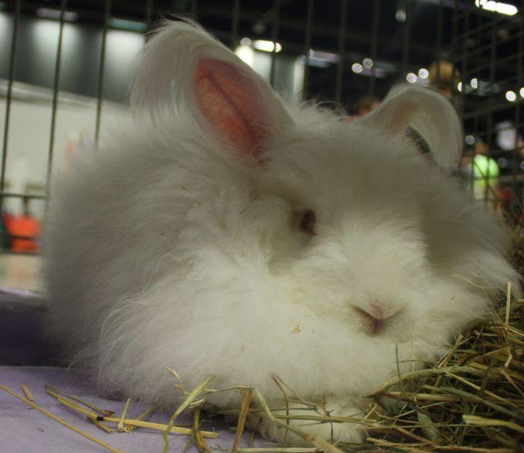 The Angora rabbit, turkish: Ankara tavşanı
