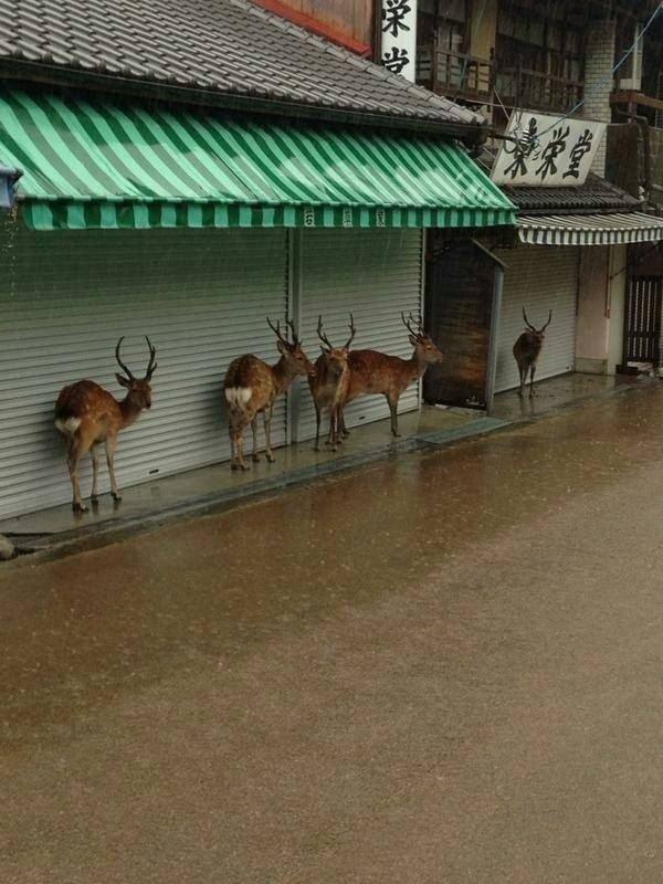 deer in Nara, Japan taking shelter from the rain :)