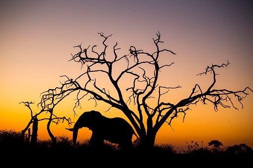 African Elephant, Chobe National Park, Botswana