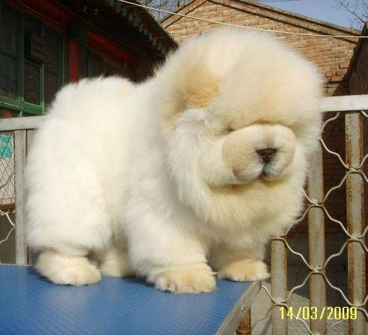 baby chow chow....it's so fluffaaay!! Lol