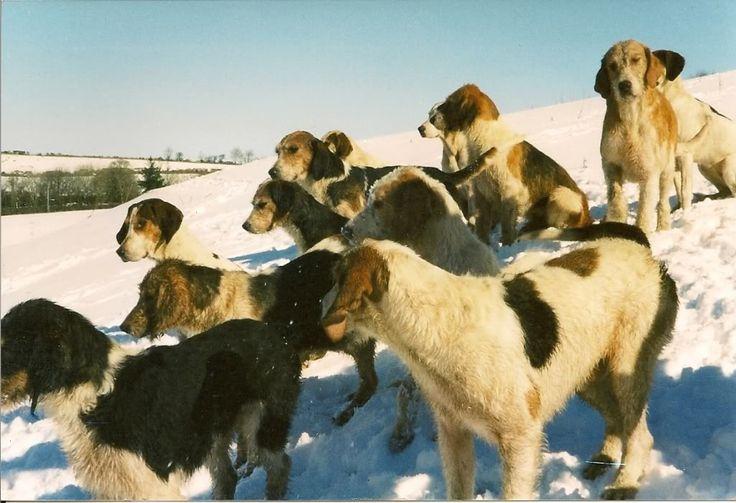 Welsh hounds.