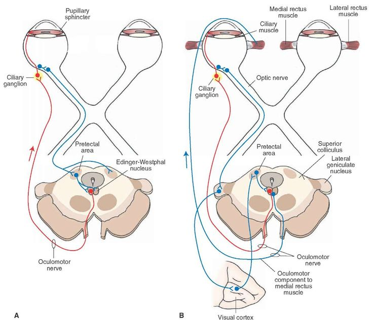 The pathways mediating (A) the pupillary light and (B) accommodation reflexes.