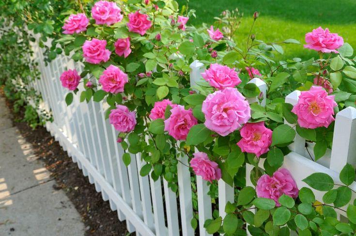 Роза посаженная вдоль ограды