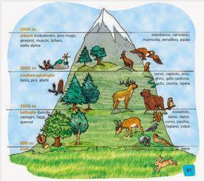 La flora e la fauna della montagna cambiano a seconda dell' altitudine e dell' esposizione al sole . Salendo lungo i fianchi della montagna ...