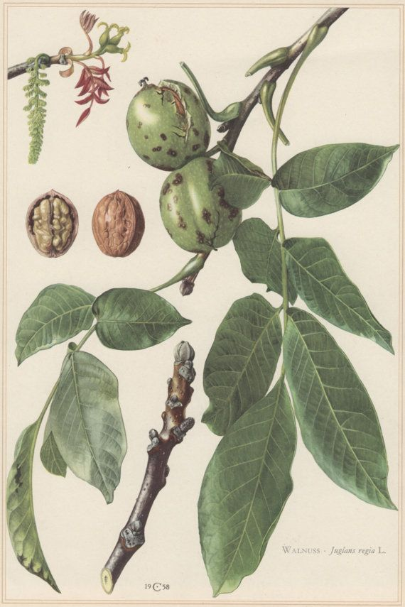 1960 Vintage Botanical Print Juglans regia Walnut by Craftissimo