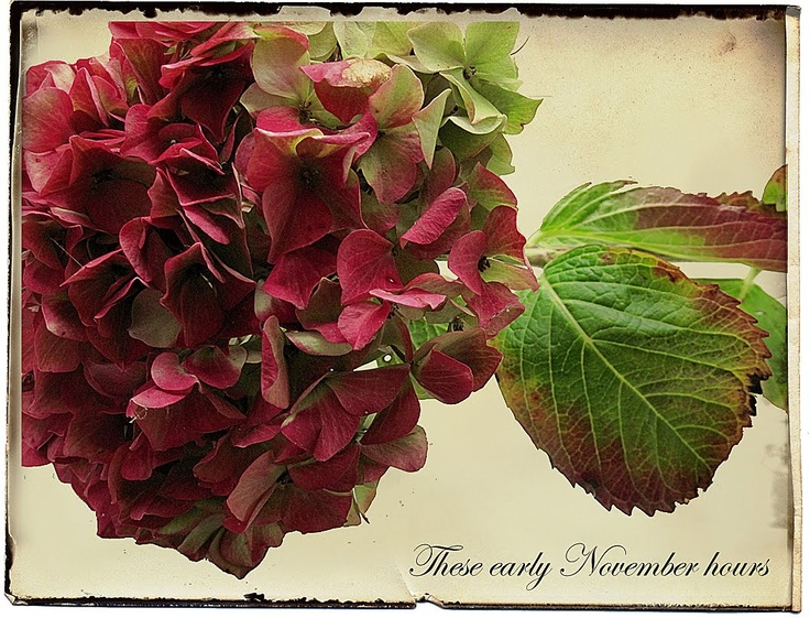 November red hydrangea