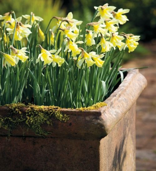 Narcissus 'W.P. Milner', March to April, 30cm
