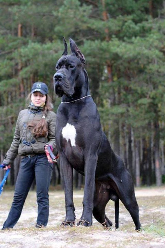 Great Dane Do you think Aden will get this big?