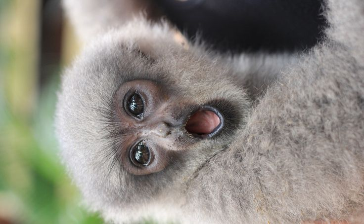 Paris, Silvery Gibbon | Owa Jawa
