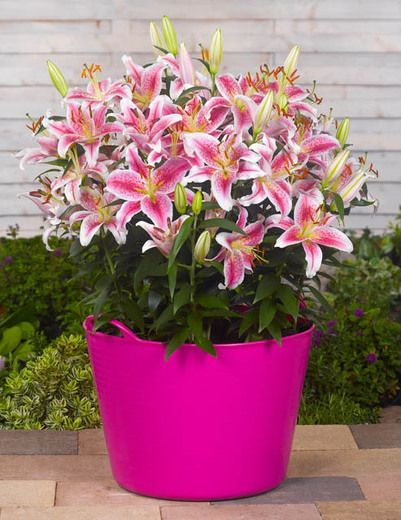 Star gazer lilies, my favorite! Definitely want to grow some of these at our Florida house