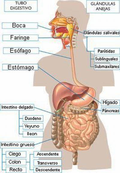 las partes del aparato digestivo.                                                                                                                                                                                 Más